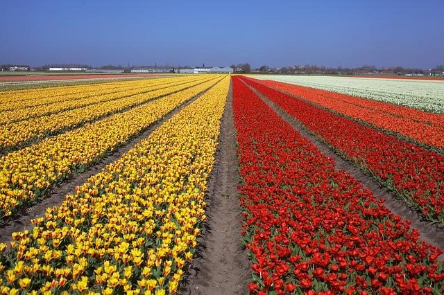 tulips-530054_640