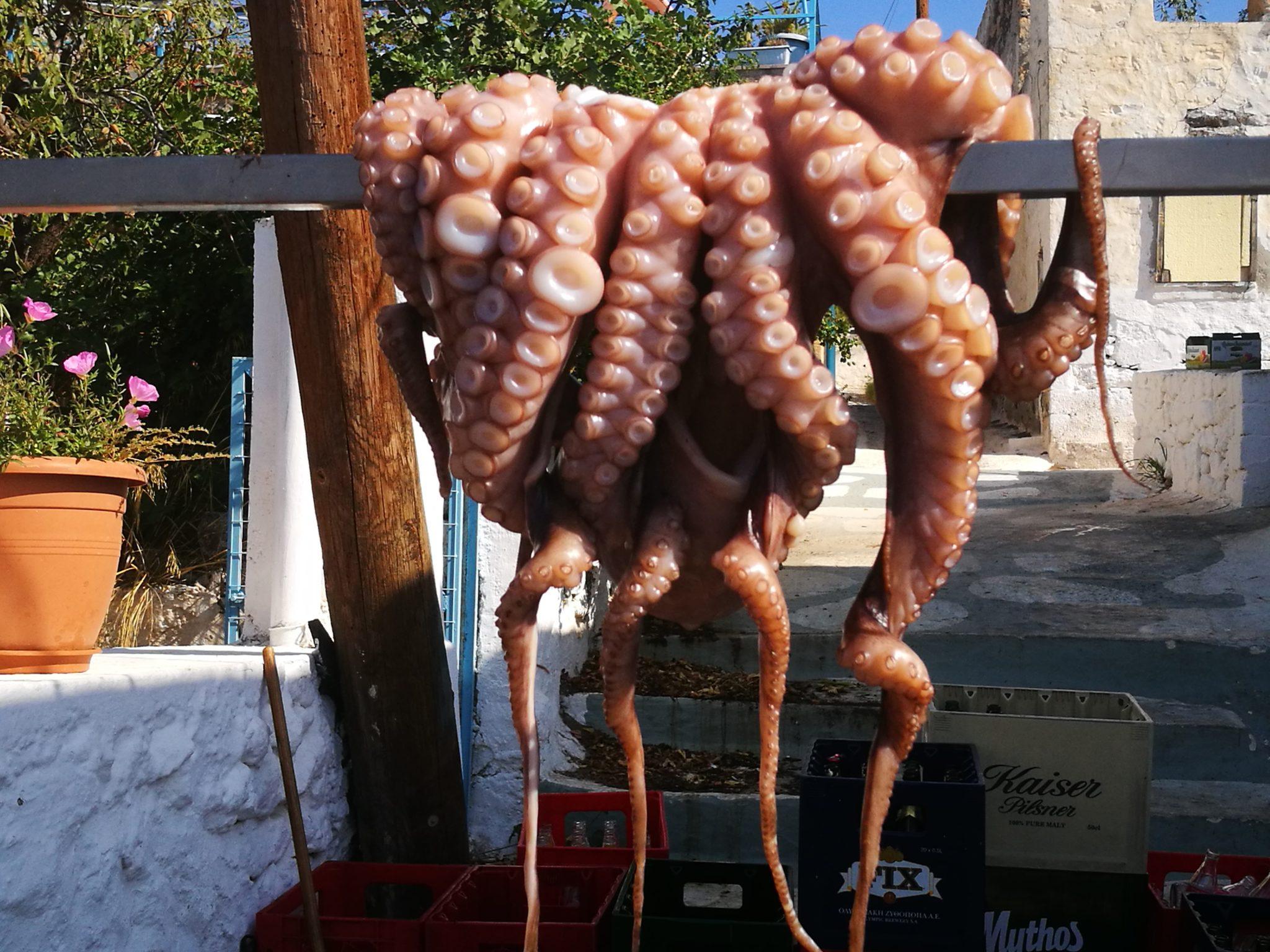 Perdika - susząca się ośmiornica