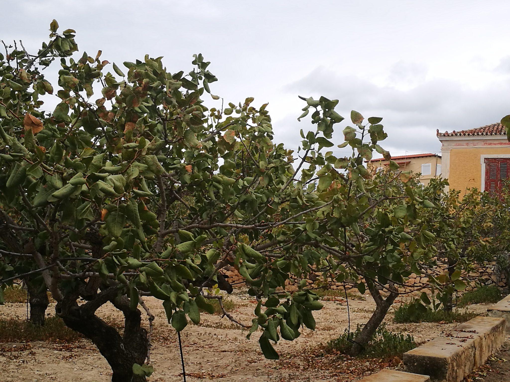 Drzewa pistacjowe - symbol Eginy